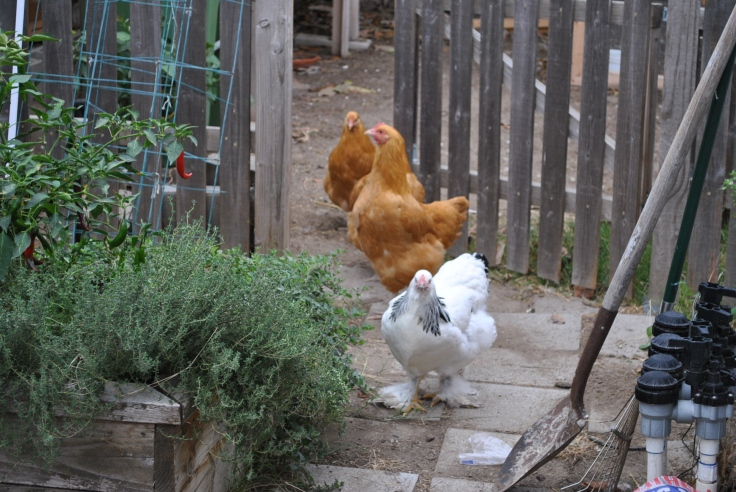 Buff orpington, light brahma, backyard chickens, urban farm chickens in the garden