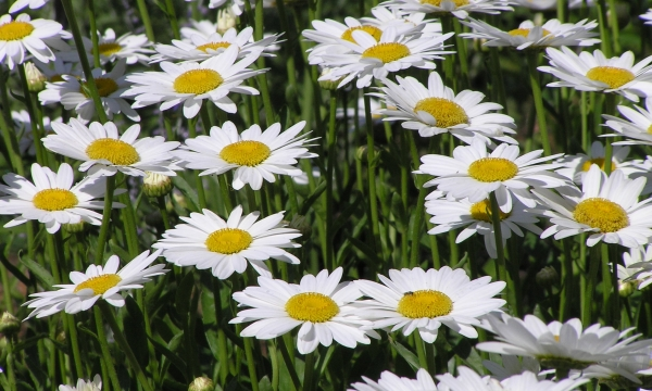 Daisy - photo from Wiki Commons