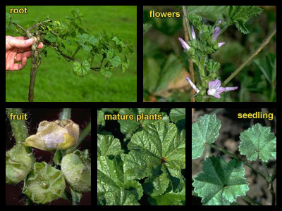 weeds - mallow plant