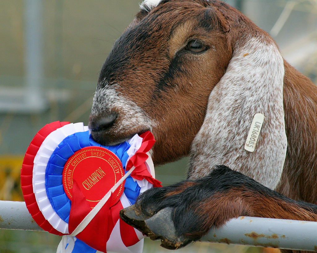 Goat_eating_ribbon